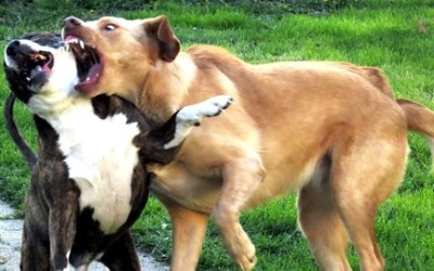 Dog-to-Dog Aggression (also known as dog-to-dog reactivity)