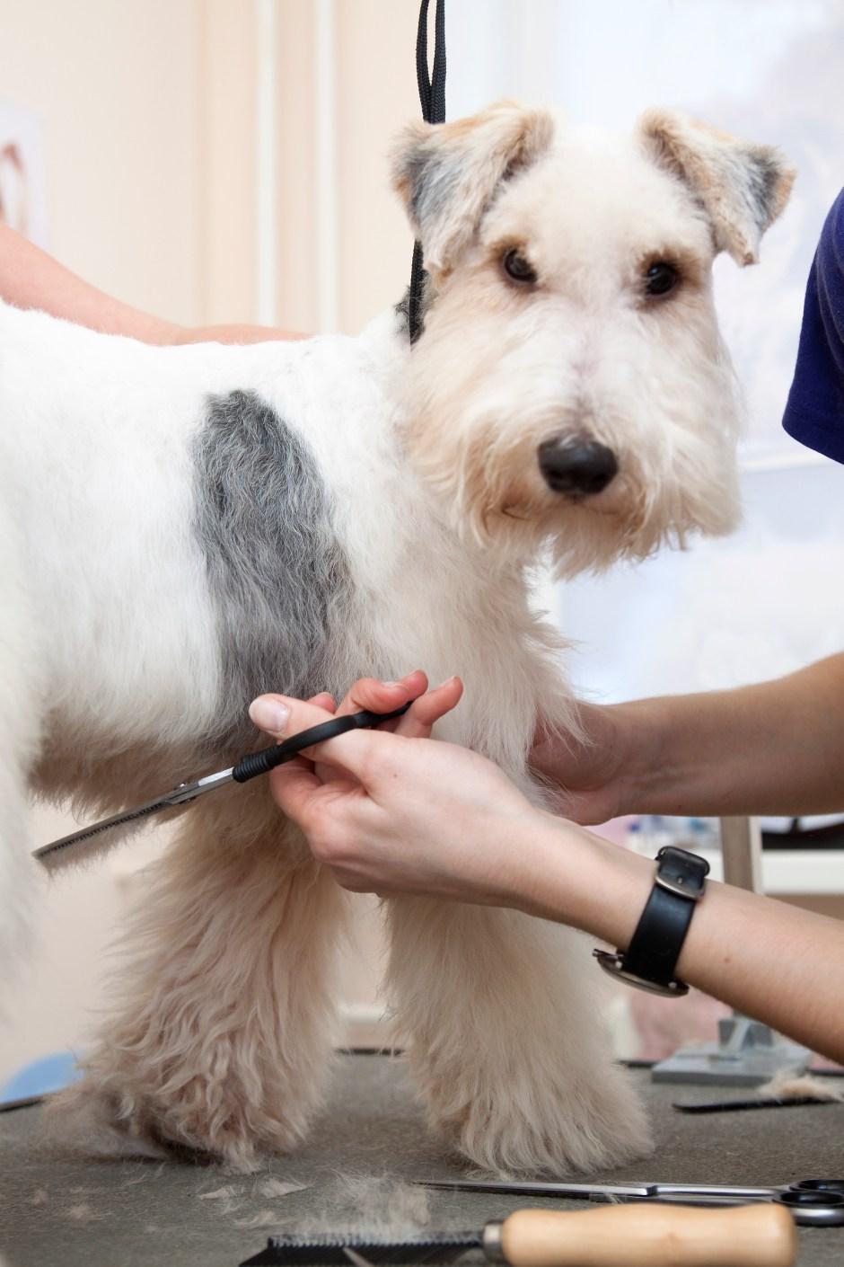 Fox terrier getting his hair cut, grooming