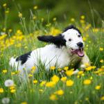 Happy dog smiling and running through flower fields