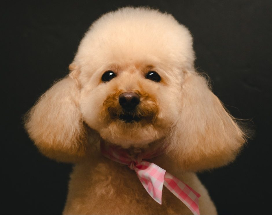 Poodle dog haircut