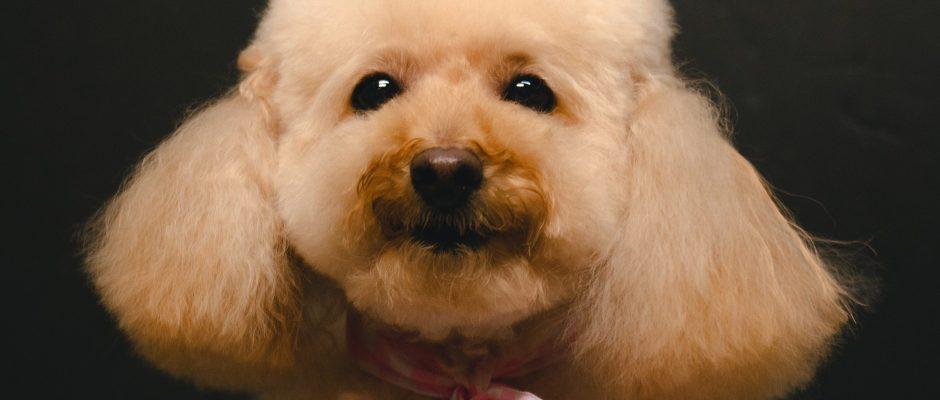 Poodle dog haircut