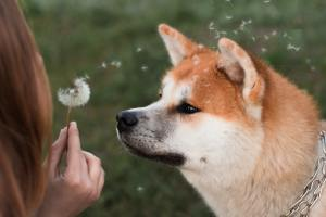 Girl blowing dandelions with dog, skin allergies