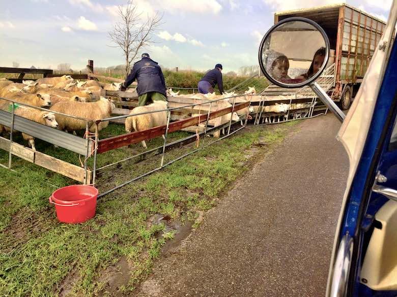 Mama en dochter kijken vanuit de TukTuk toe hoe twee boeren hun schapen inladen op Texel