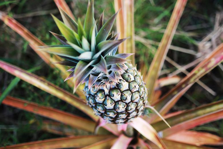 A pineapple on the Maui Tropical Plantation