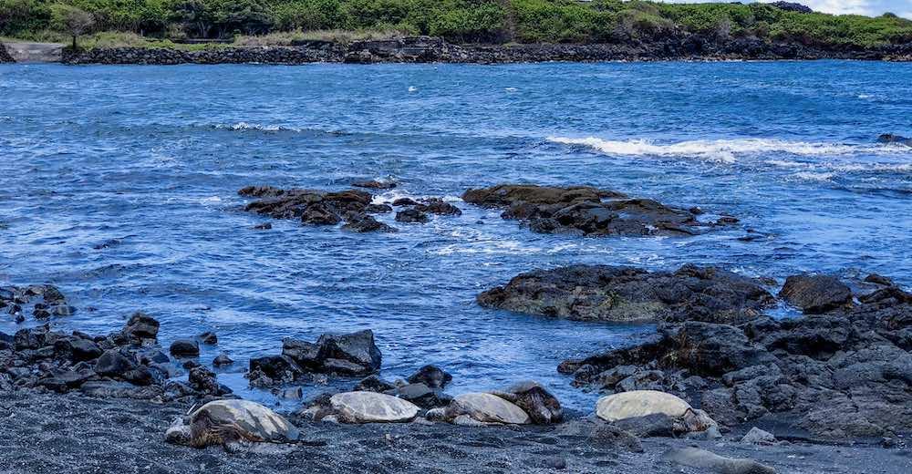 Turtles lounging on Punaluʻu black sand beach in Hawaii, one of the best Big Island beaches