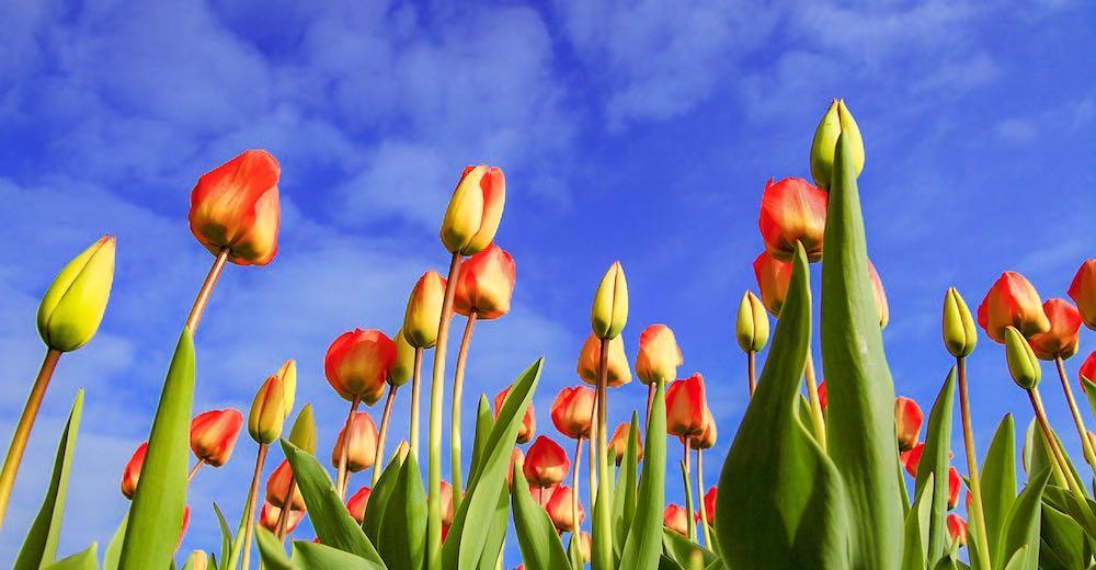 Tulips fields in the Bollenstreek near Amsterdam in Holland