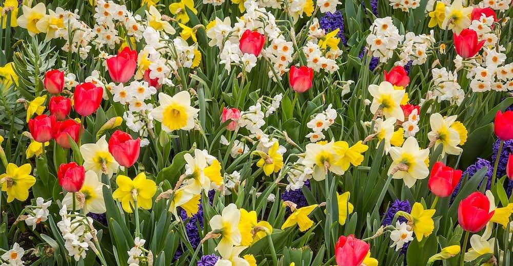 Mix of colorful spring flowers at Keukenhof Gardens