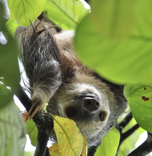 Sloth in a tree at the Punta Culebra Nature Center, one of the most popular Panama attractions