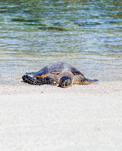 Turtle on Two Steps beach, one of the best snorkeling beaches on Big Island Hawaii