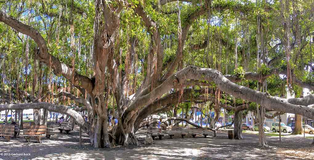 In Lahaina Maui you'll find the oldest banyan tree in Hawaii