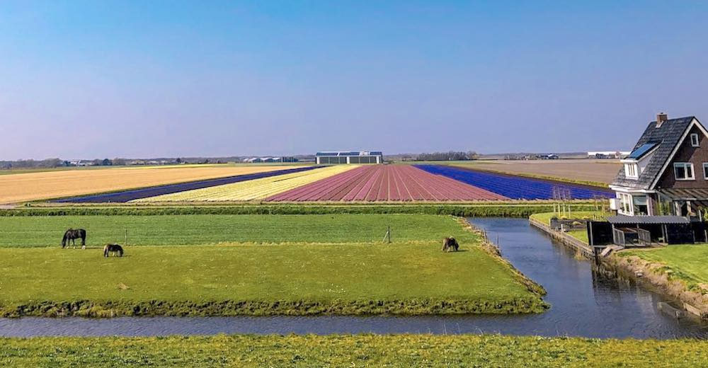 Grazing horses and a farm with tulip fields in Netherlands