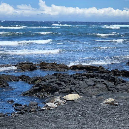 Hawaiian turtles on a Big Island beach