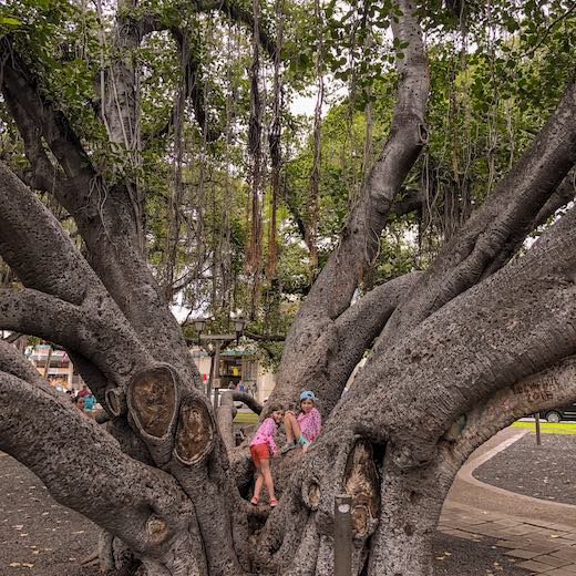 Girls climbing banyan tree Lahaina shows Maui is the best island in Hawaii for families with kids