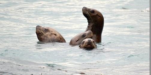 Sea Lions in Valdez, Alaska