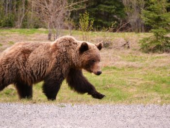 Grizzly Bear along the highway