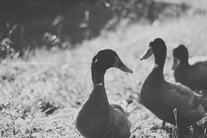 The Ducks | Cosmopolitan Cornbread Photography