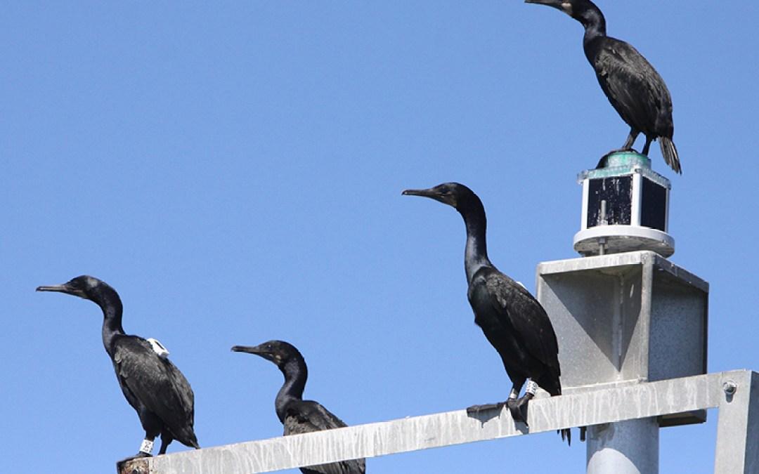 Cormorants Collect Coastal Ocean Data