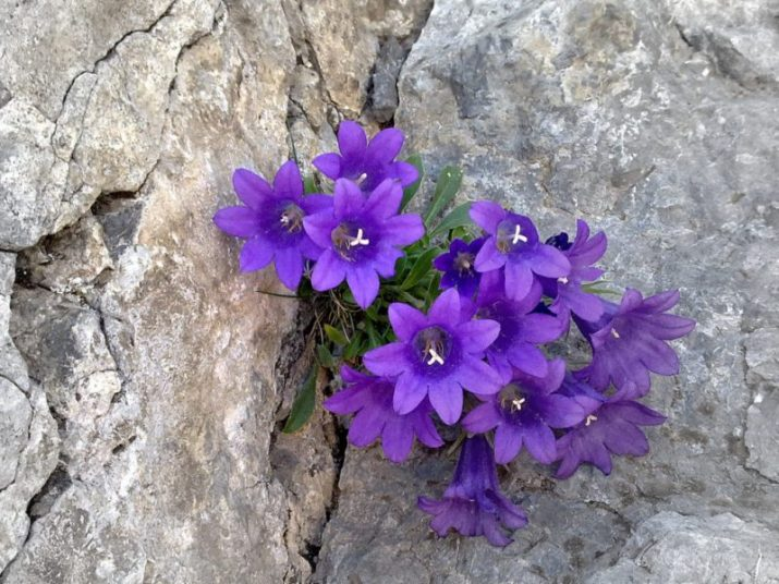 Greece-Olumpus-Αγριολούλουδο στα όρια της Αλπικής Ζώνης του Ολύμπου_httpsdeyael.gr
