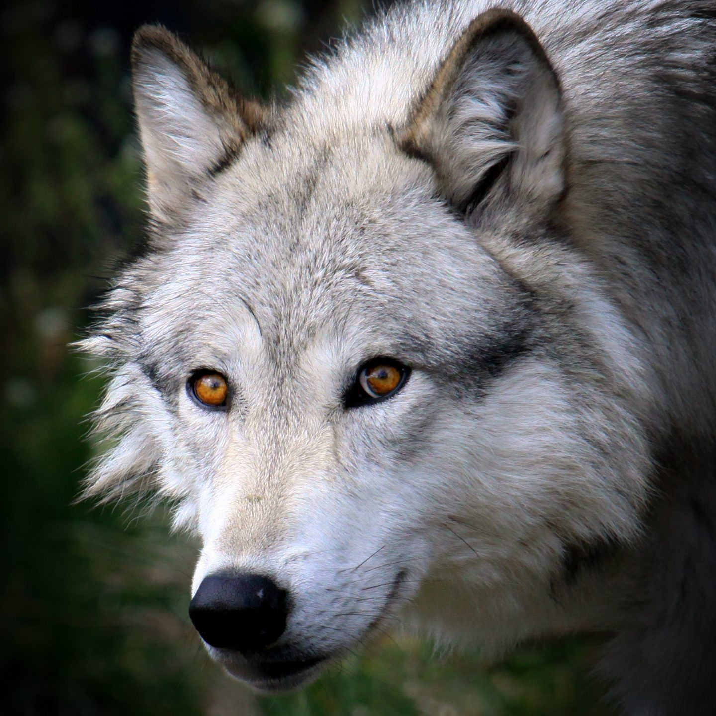 How Wolves Can Change The Course Of Rivers
