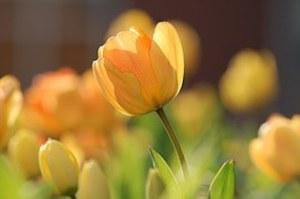 tulip-690320__180