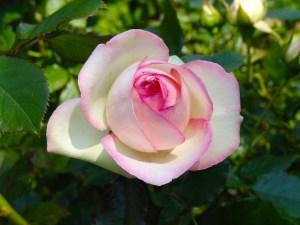 rose-2430678_1280