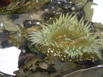 Huge anenome at Pigeon Point!