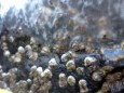 Barnacles entombed in ice