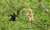Mated Gibbons