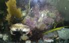 Jonah crabs and club tunicates