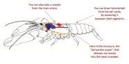 Basic diagram of the neurosecretory system of the American lobster, Homarus americanus. Edited from Skiebe 2001.