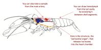 Basic diagram of the neurosecretory system of the American lobster, Homarus americanus. Edited from Skiebe 2001.