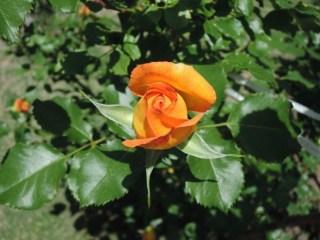 3月から、バラに散布する防虫剤と肥料