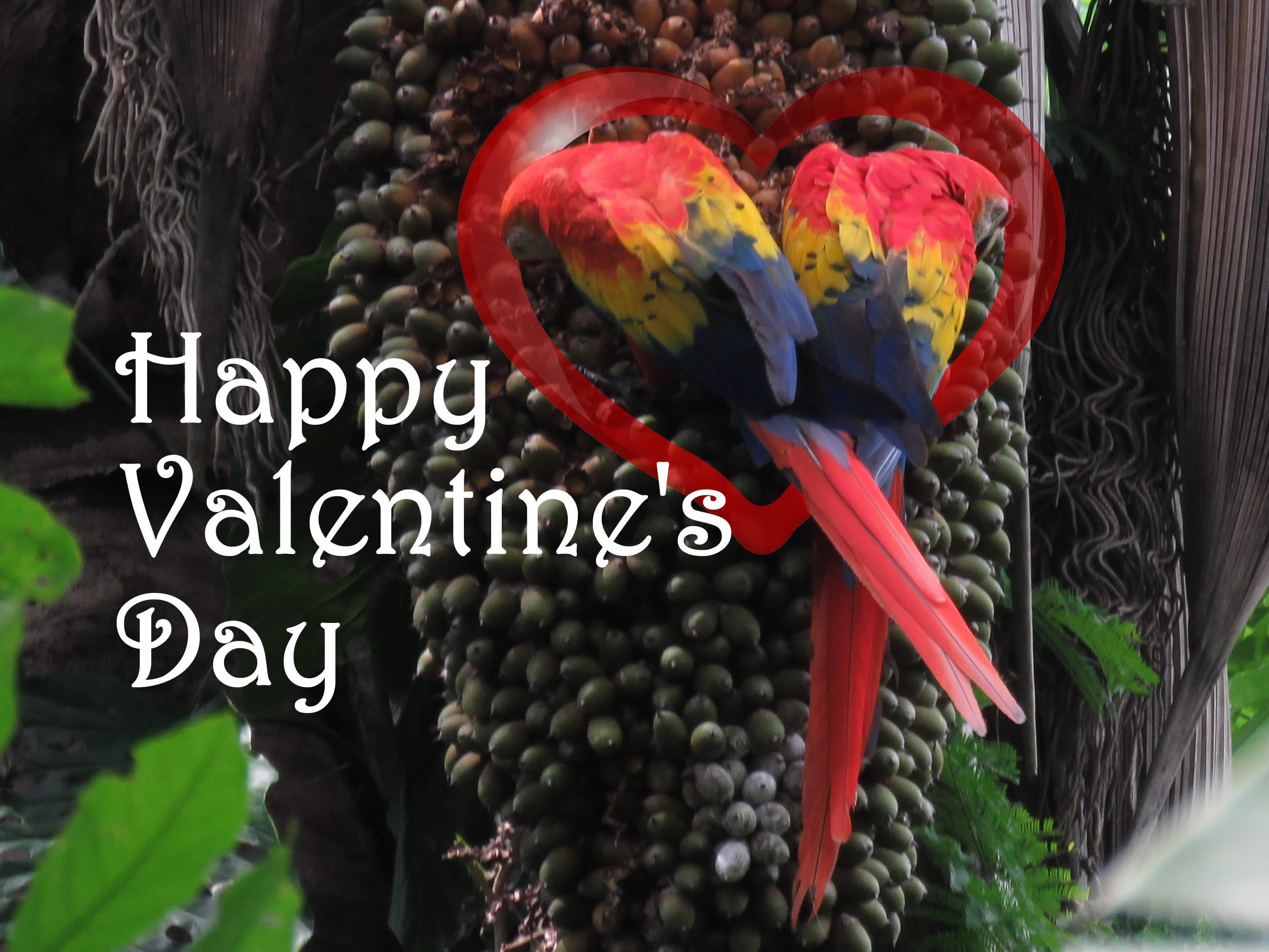 Happy Valentines Day Macaws