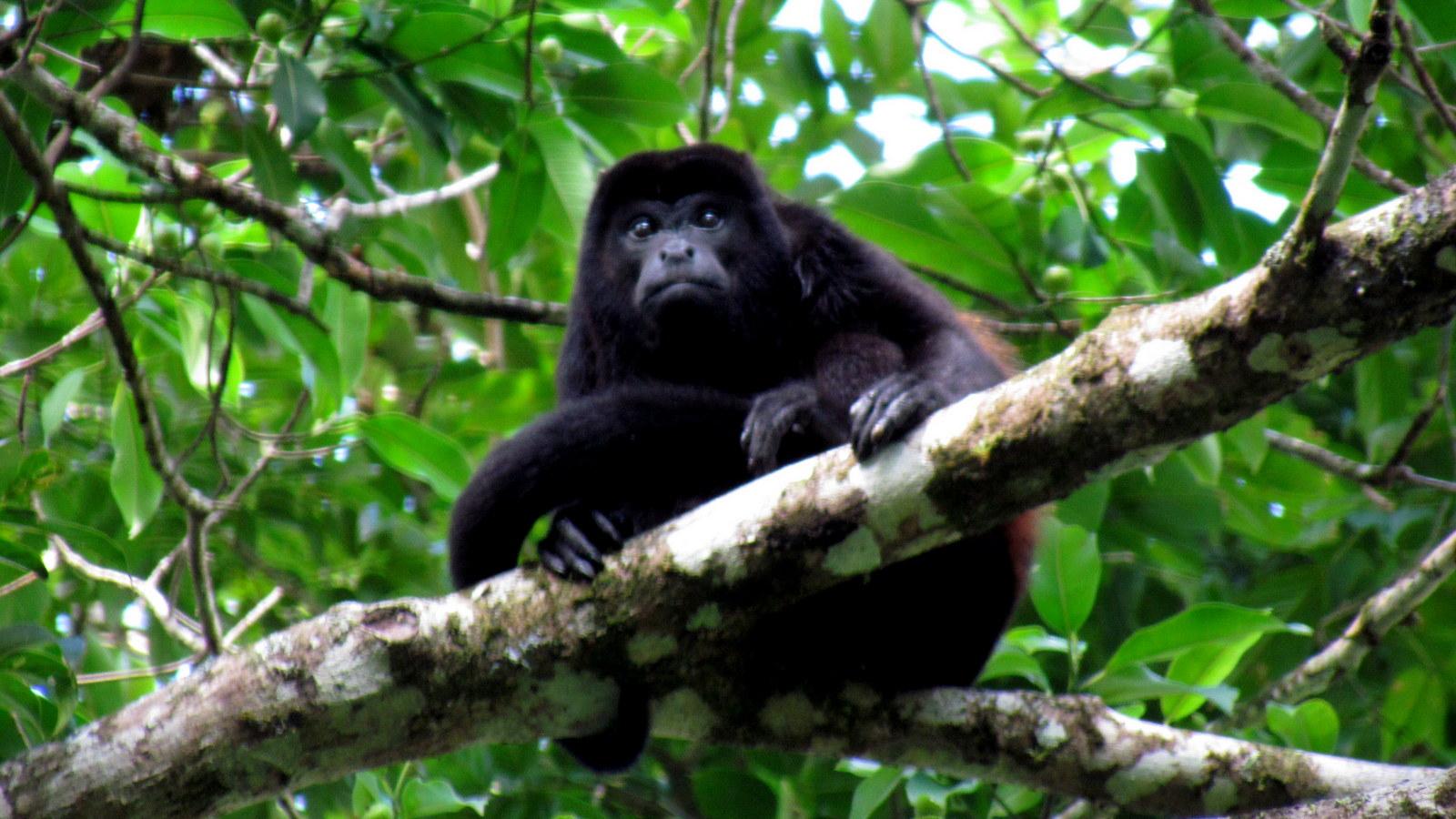 Mono Congo