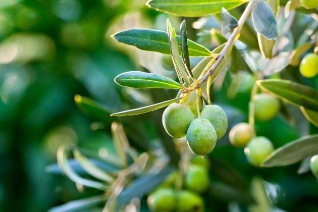 Risultati immagini per olive