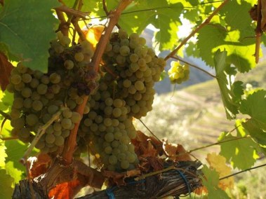Ripening on the Old Vine