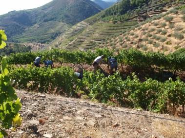 Working the Terraced Vineyards