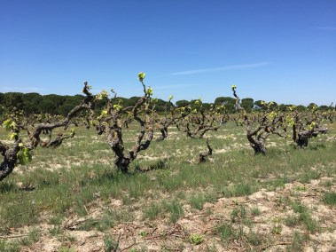 Old vines. Sandy soil without irrigation.