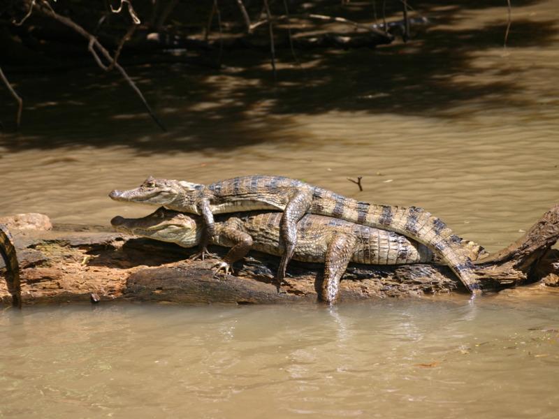 Cano negro Reptiles