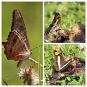 Butterflies 1Hotel Tempisque