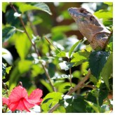 Lizard in a Hibiscus Shrub