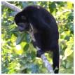 Howler Monkey 6