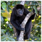 Howler Monkey 10