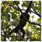 Howler Monkey 12