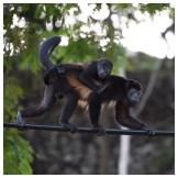 Howler Monkey 15