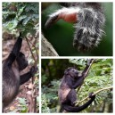 Howler Monkeys 2