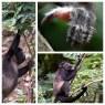Howler Monkeys 2