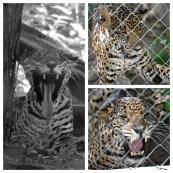 Jaguar Los Pumas Rescue Centre