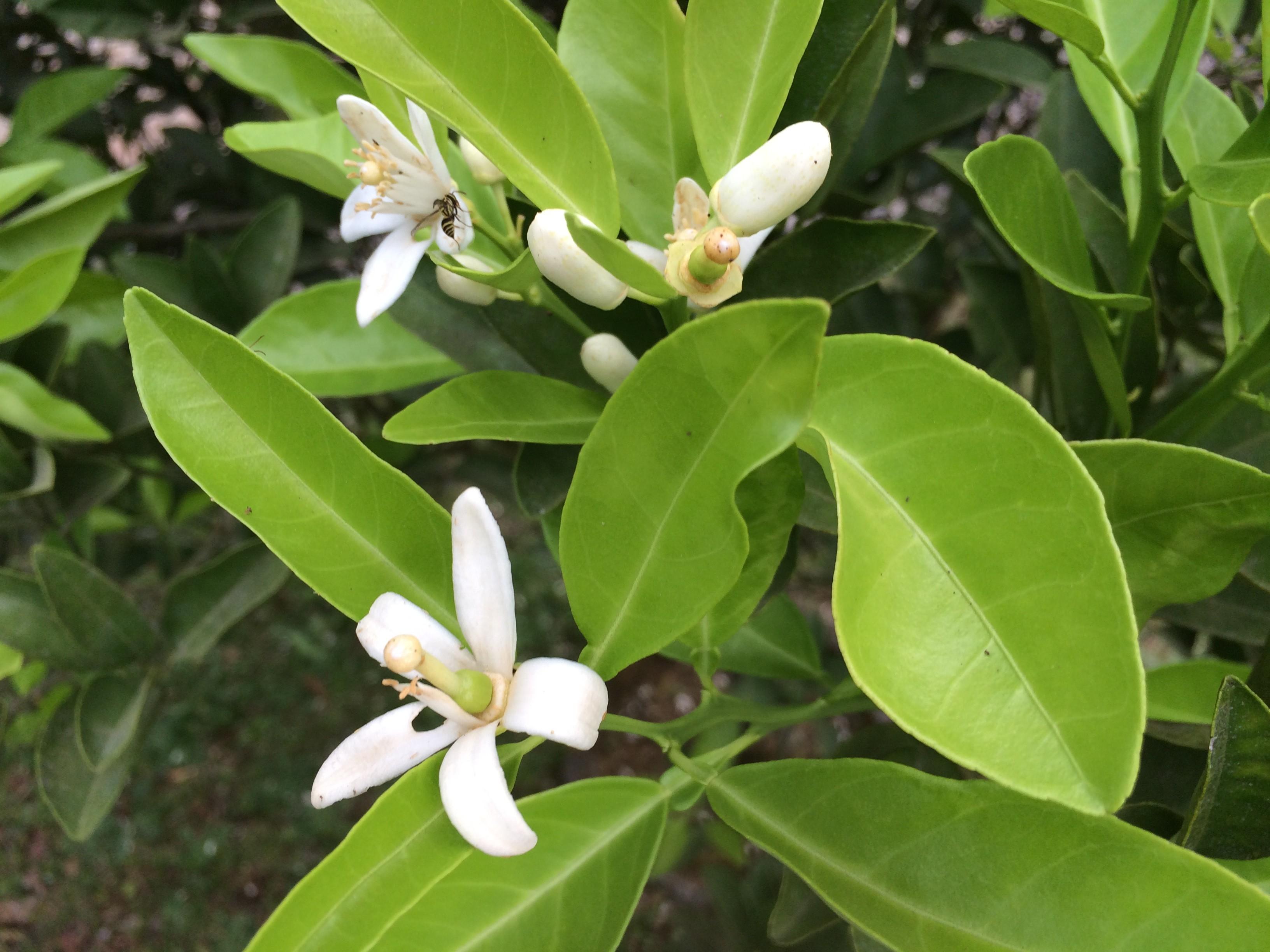 Lemon Flowers