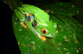 Tirimbina Biological Reserve's Frog Tour
